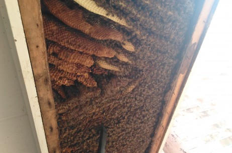 Honey Bee Removals